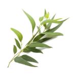Huile-Essentielle-Bio-Eucalyptus-Radiata
