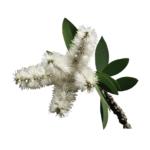 Niaouli-huiles-essentielles-AromaCare-Diffuseur